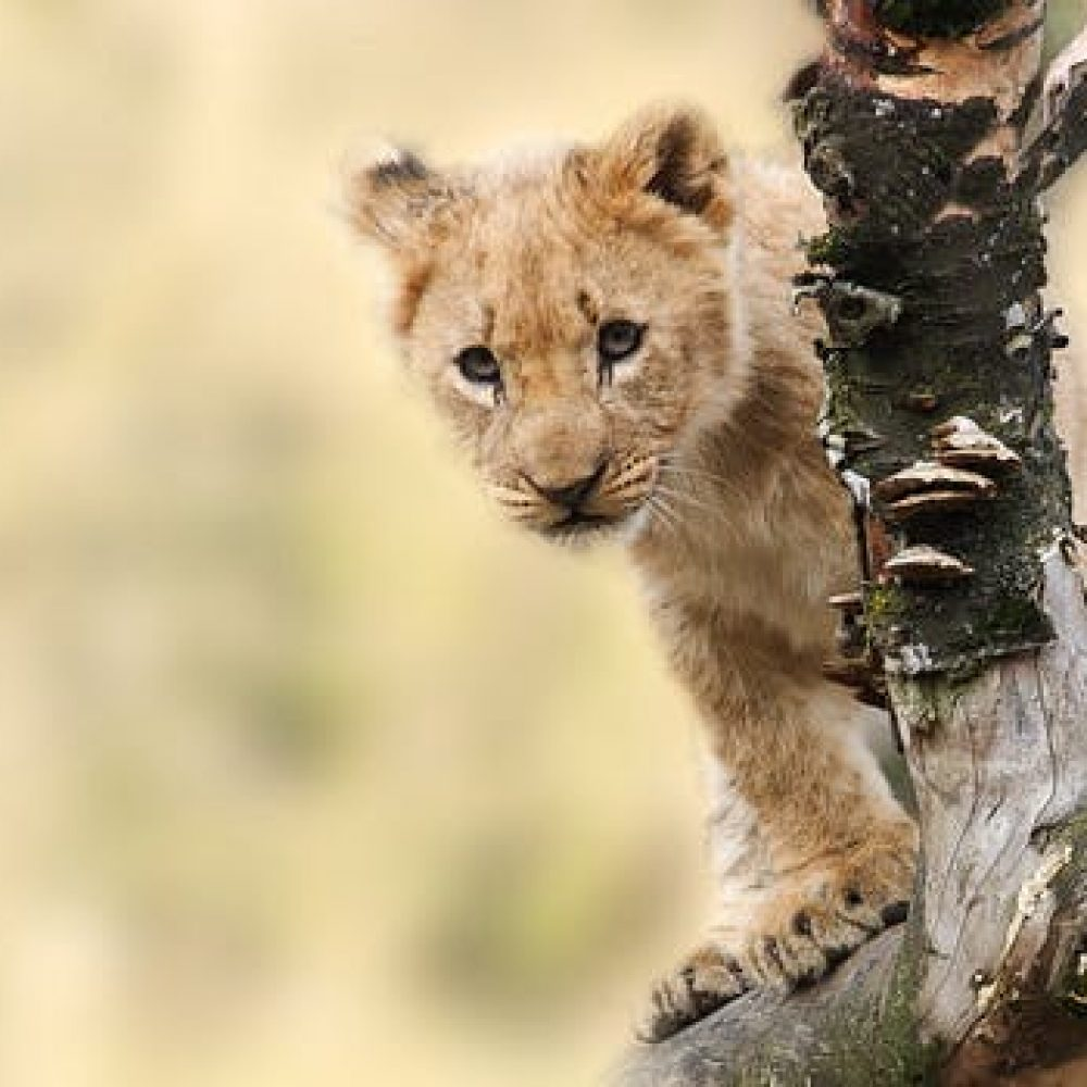 lion-animal-nature-predator-40835.jpeg
